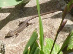トカゲ(蜥蜴)・かなへび